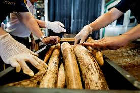 Elephant tusks sell quickly on the black market
