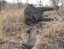 Slaughtered elephant. When will this end?